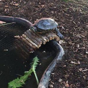 Verschiedene Wasserschildkröten